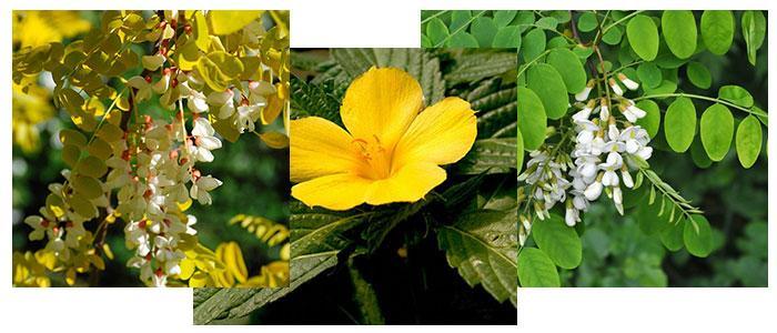 plantas medicinales con acacetina o 5,7-dihidroxi-4′-metoxiflavona