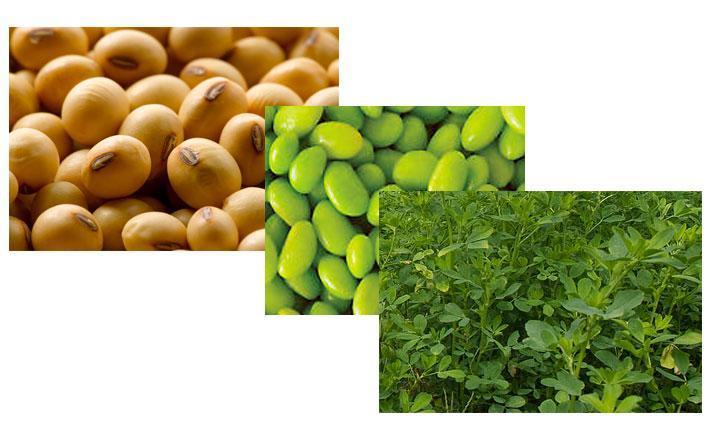 flavonoides de soya o soja, planta Glycine max
